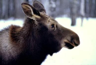 MNRF seize 33 Moose!!