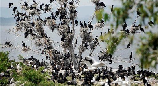 Nature not bullets should control cormorants, McMaster biologist says
