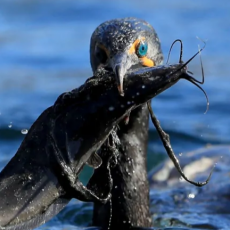 Province's 'baffling' cormorant cull is 'going to be a disaster'