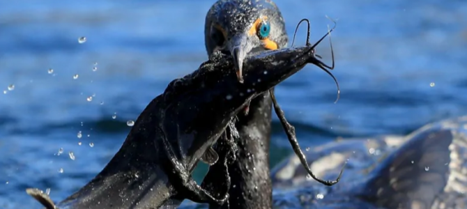 Government scientists warn about safety, impacts of proposed cormorant hunt