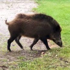 Ontario Taking Action Against Invasive Species, Including Wild Pigs